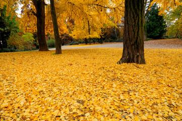 foglie gialle di ginkobiloba nei Giardini Pubblici a Milano