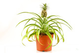 Bromeliad pineapple