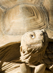 Close up of an African Spurred Tortoise