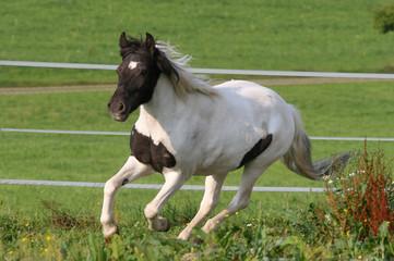 geschecktes Pony im Galopp