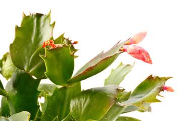 Zygocactus truncatus
