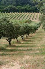 Parc d'oliviers de Porquerolles