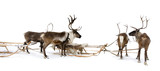 Four reindeers whis harnesses poster