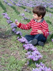 bambino che raccoglie fiore di zafferano