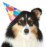 Shetland sheepdog with party hat poster