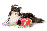 Shetland sheepdog in Christmas hat with a gift poster