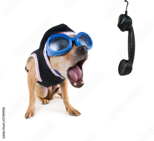 cute chihuahua on the phone