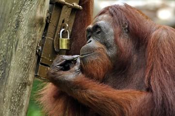 Orangutan Picking Lock