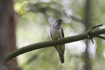 Cuckoo on branck in forest