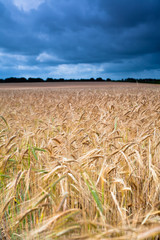 Storm clouds over Norfolk wheat field