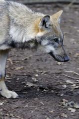 Ein Wolf geht vorüber
