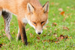 Red Fox Prowling in Autumn Fall Leaves with Sly Eyes
