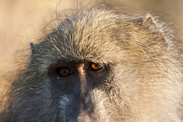 Closeup of baboon staring early in the morning