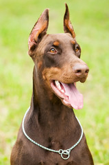 doberman outdoors