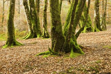 Otoño ventoso en el bosque de Leurtza (Navarra)
