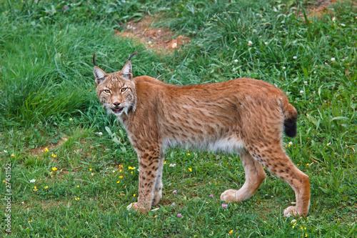 Staande foto Lynx Lynx pardinus