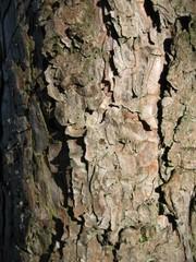 Bark of the pine tree