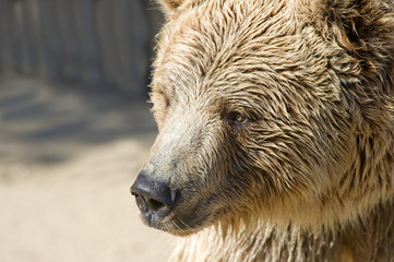 Close up of a Brown Bears Head