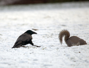 Crow and Squirrel