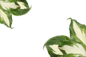 Green hosta leaves on the white background