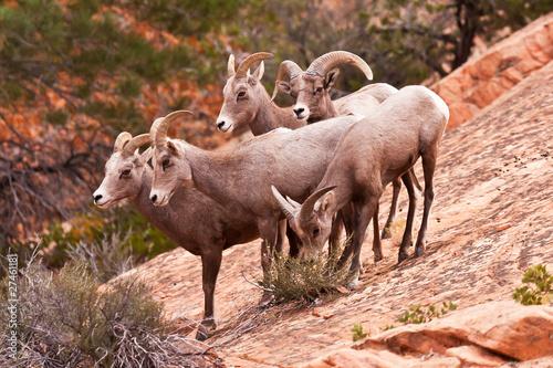 Fotobehang Schapen Heard Of Desert Big Horn Sheep