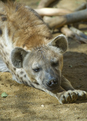 Spotted Hyena sleeping