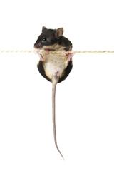 Maus  an einem Seil
