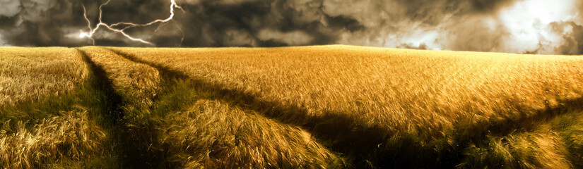 thunderstorm over a golden  barley field