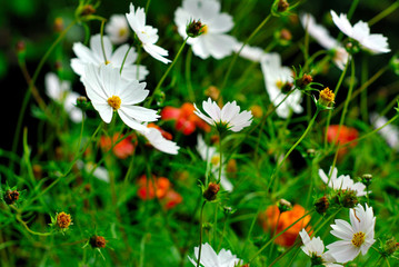 Flowers of cosmos