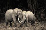 Fototapeta zwierzę - miłość - Dziki Ssak