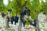 grapes on the vine, harvest time - Fine Art prints