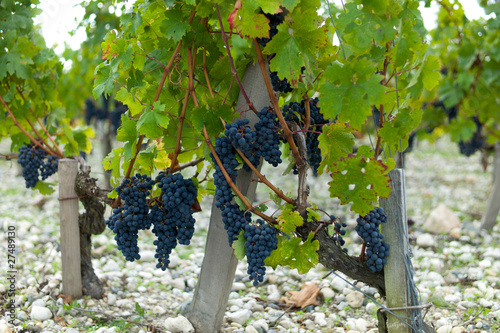 Spoed canvasdoek 2cm dik Wijngaard grapes on the vine, harvest time