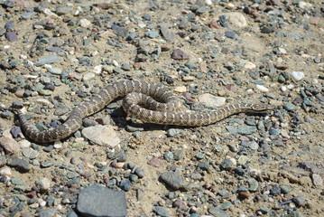 Halys pit viper