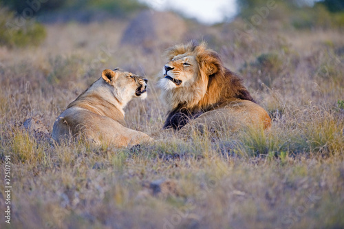 A Lion Couple have an argument
