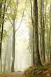 Mountain trail through the misty beech forest