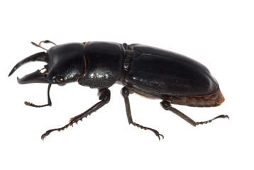 stag beetle isolated