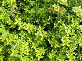 Thyme (Thymus citriodorus)