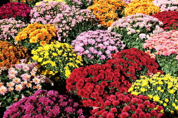 Pots of Colourful Chrysanthemums Background