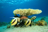 Acropora Coral and Red Sea Bannerfish poster