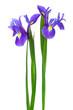 two purple iris