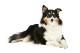 Shetland Collie dog lying on a white background poster