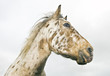 Beautiful appaloosa stallion horse