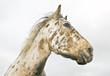 Beautiful appaloosa stallion horse
