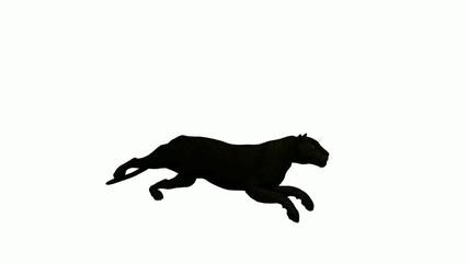 Black Leopard Running