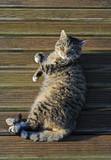 Tomcat sunbathing. poster