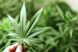Fototapety cannabis background