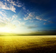 field of barley and sunset