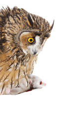 owl with prey isolated on the white background