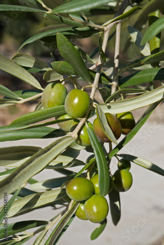 Tuinposter Olijfboom Olive tree branch