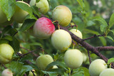 Ripening fruits of a Superior Japanese plum poster